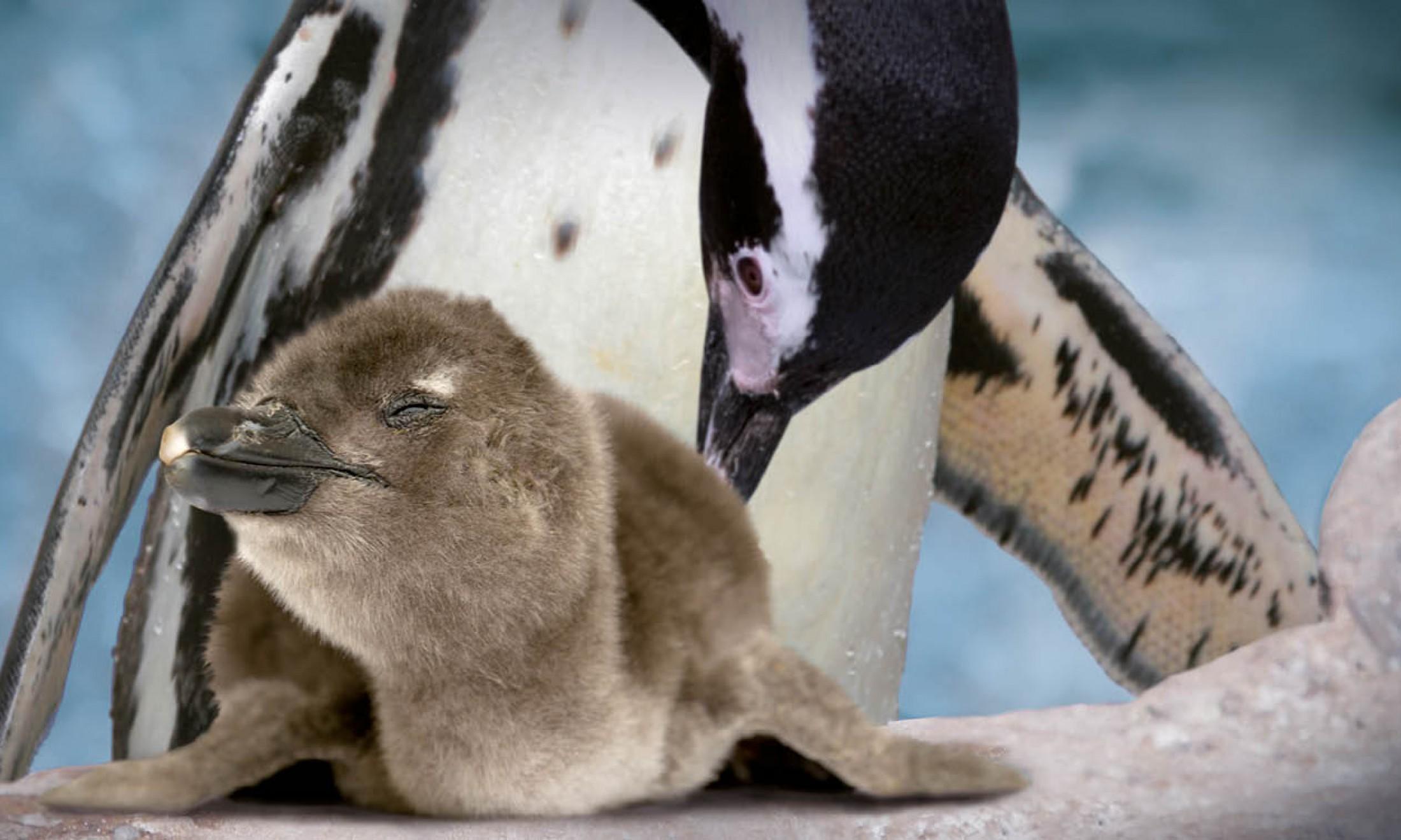 Cucciolo di pinguino