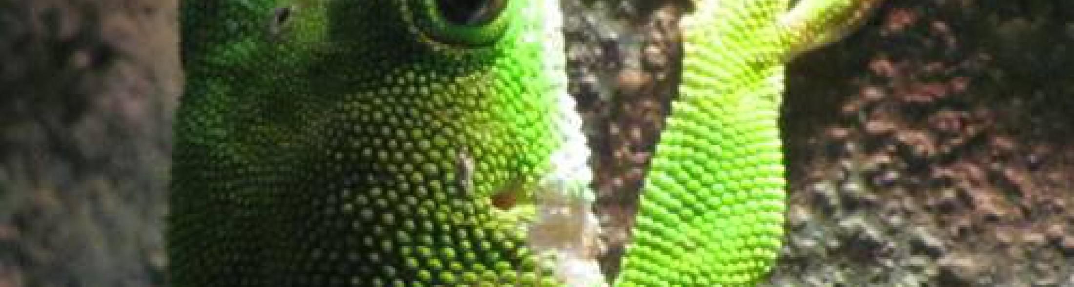 geco, un campione tra gli scalatori