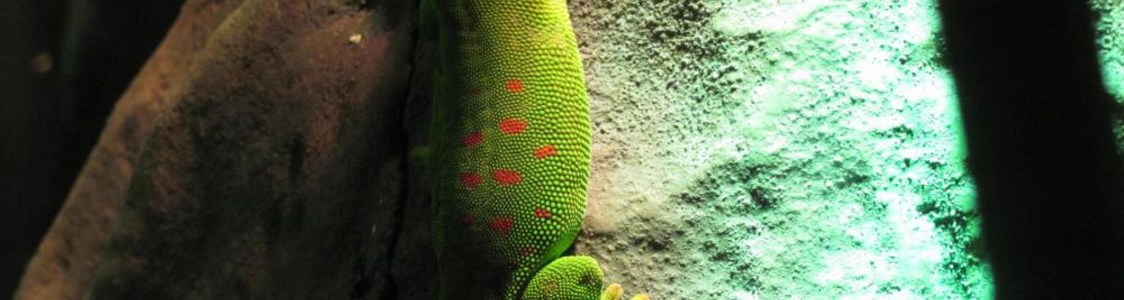 geco diurno