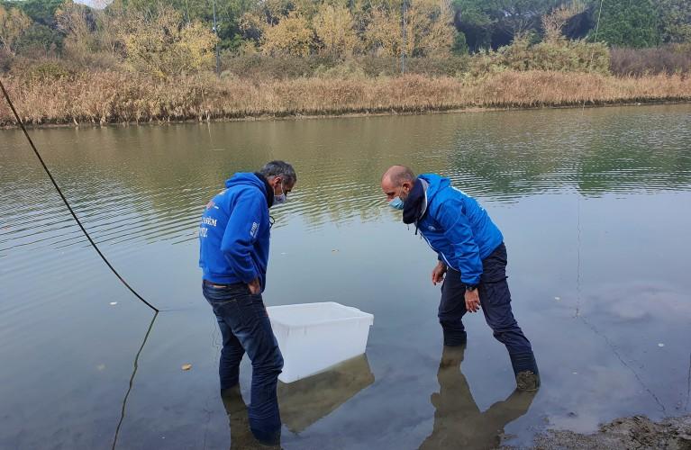 Nuova liberazione di storioni e anguille nel Delta del Po a Ravenna