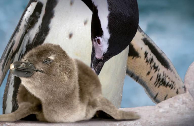 Pic Nick il cucciolo di Pinguino
