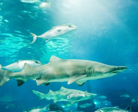 I Grandi squali