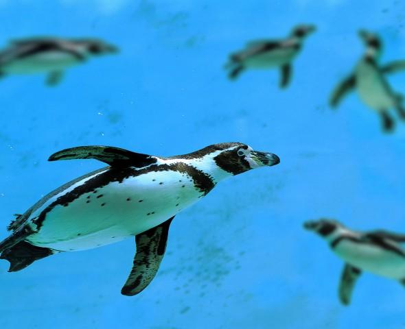 I pinguini di Humboldt