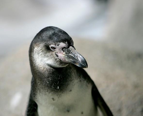 I pinguini delle aree temperate